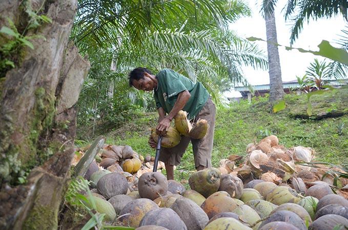Harga Kelapa Makin Tinggi di Lubukbasung