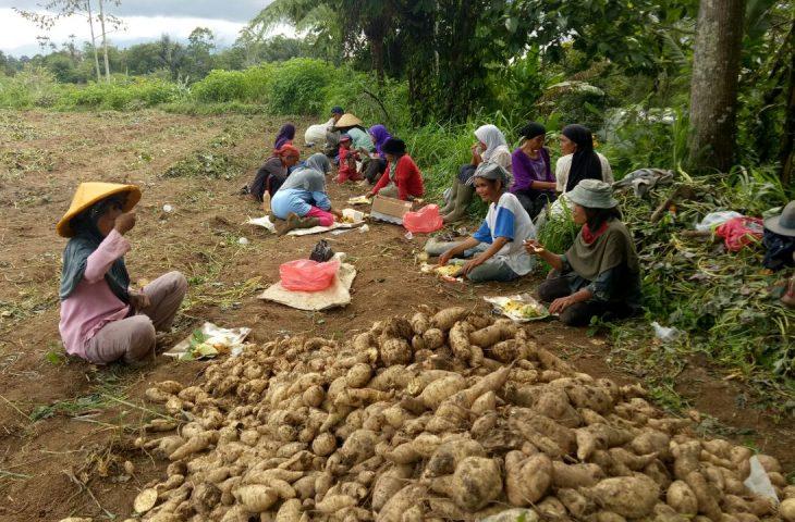 Kelompok PKH Binaan Dinsos di Canduang Panen Ubi Jalar