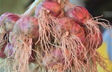 Panen Bawang Merah di Matur 48 Ton Per Hektare, Kadis TPHP Sumbar: Spektakuler