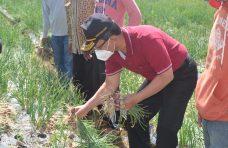 Indra Catri Apresiasi Kelompok Tani Berhasil Kembangkan Bawang Merah