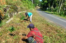 Pinggir Jalan Provinsi di Palembayan Ditanami Pohon Pelindung
