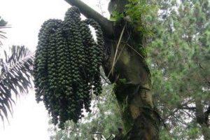 100 Batang Pohon Aren Ditanam di Sepanjang Aliran Sungai Kubu Anau