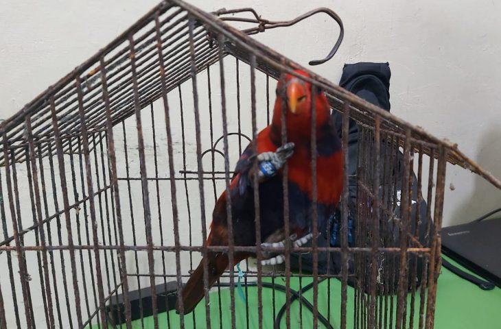 Tahun 2021, Pencinta dan Pedagang Burung di Agam Wajib Miliki Legalitas