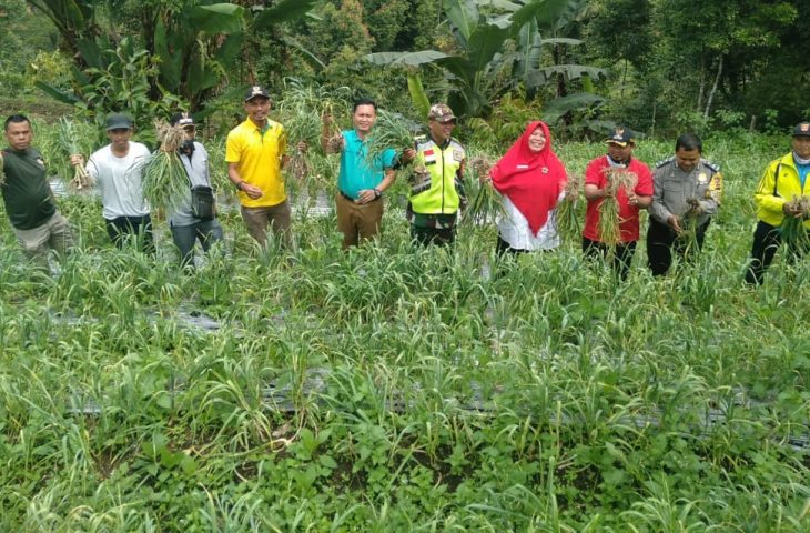 Keltan Toboh Organik Malalak Timur Panen Perdana Bawang Putih