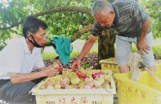 Petani Manggis di Agam Mulai Menggeliat