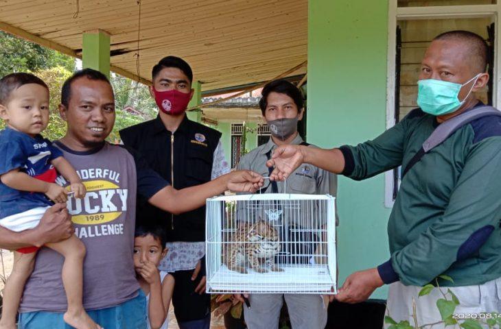 Masuk Kamar Warga, BKSDA Agam Evakuasi Kucing Hutan