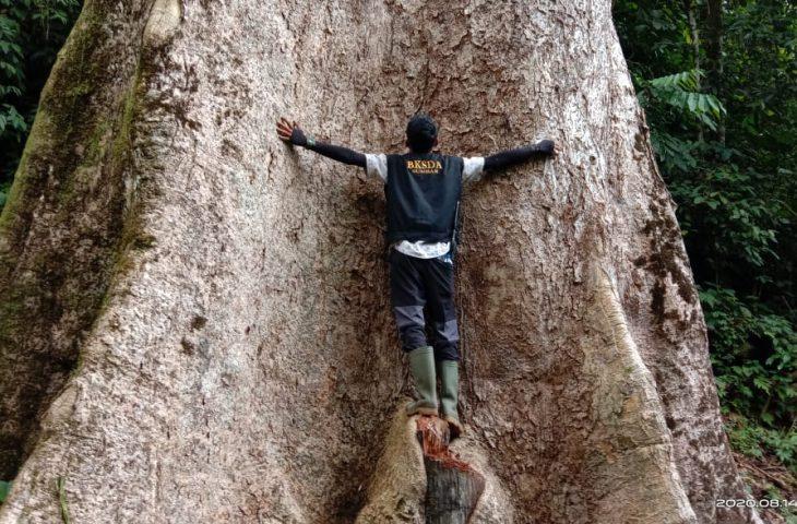 Pohon di Nagari Koto Malintang Termasuk Pohon Terbesar di Dunia