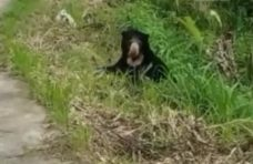 Beruang Madu di Kuok Tigo Koto Diperkirakan Sudah Kembali ke Hutan Lindung
