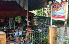 Budidaya Tanaman Hias Warga, Nagari Persiapan Sangkir Raup Jutaan Rupiah