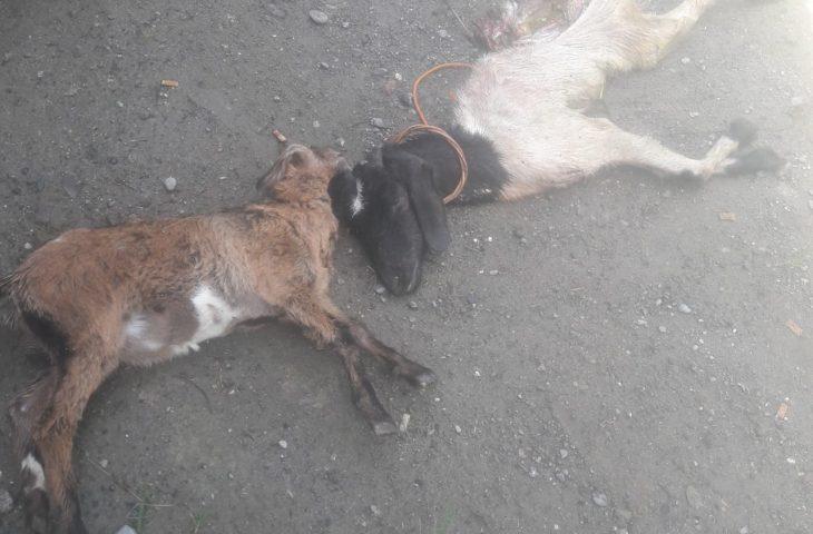 Tiga Ekor Kambing di Palembayan Mati, Diduga Diterkam Satwa Liar