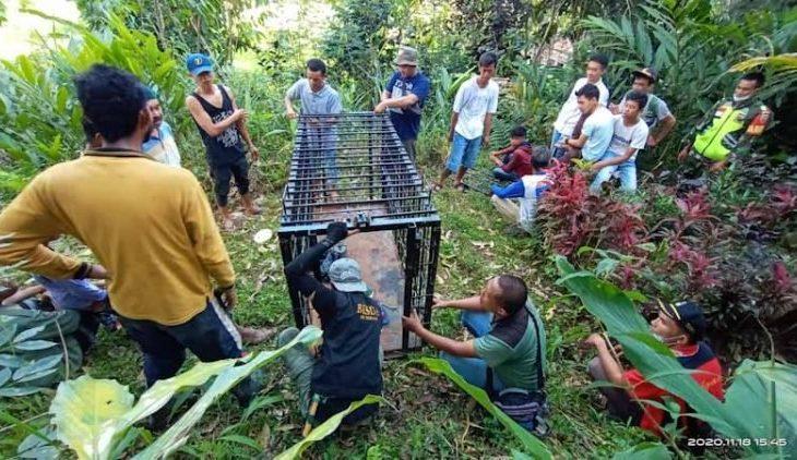 Pasca Kambing Warga Mati Diterkam Macan Dahan, BKSDA Agam Pasang Perangkap Evakuasi