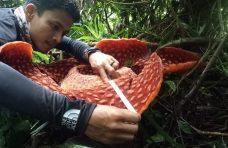 Bunga Rafflesia Arnoldi Mekar di Penghujung Tahun 2020