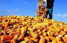 Produksi Jagung di Agam 115.014,9 Ton Tahun Lalu