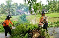 Hujan Badai Landa Agam, Pohon Tumbang di Jorong Sungai Jariang