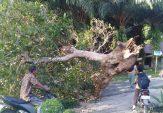 Pohon Tumbang di Cacang Randah, BPBD Agam Lakukan Pembersihan