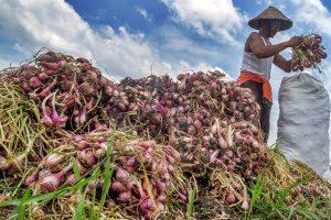 Distan Agam Catat Produksi Bawang Merah Meningkat Lima Tahun Terakhir