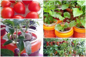 PNS di Agam Ini Tanam Tomat Import Dengan Cara Hidroponik