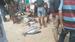 Cuaca Buruk, Tangkapan Ikan Nelayan Tiku Berkurang