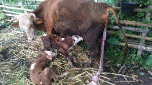 41 Ekor Induk Sapi di Agam Lahirkan Anak Kembar Melalui IB